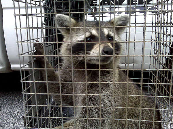 Young raccoon in a trap after being removed from a home in Columbus, Georgia