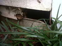 Raccoon hole near the ground going through into a house