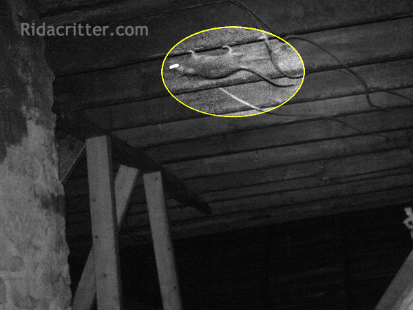 Infrared photo of a rat walking upside-down on a joist