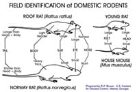 A USCDC chart illustrating the differences between roof rats, Norway rats, and mice.