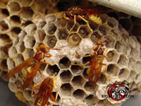 Paper wasps on a nest
