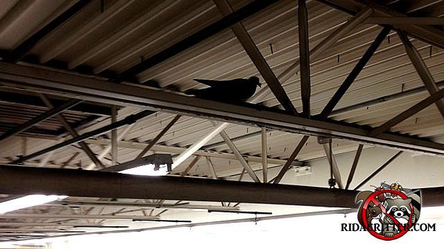 Pigeon on a beam inside of an aircraft hangar.