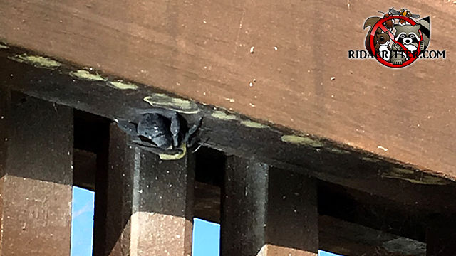 Carpenter bee drilling holes in the railing of a wooden deck.