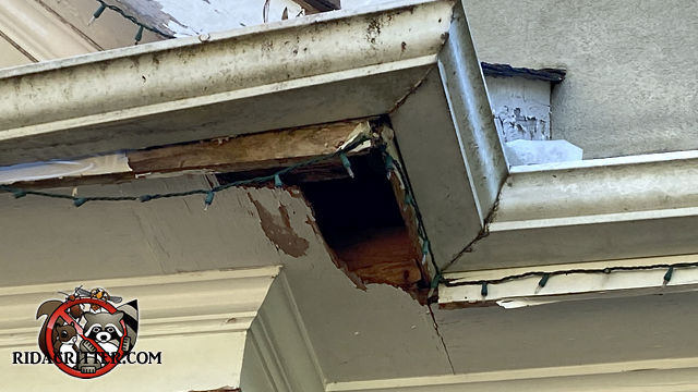 Serious animal damage to the corner of the wooden soffit panel of a house.