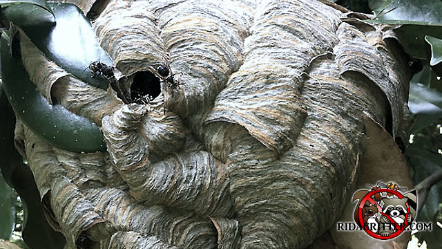 Close up of a paper hornets nest with a few hornets around the entry hole