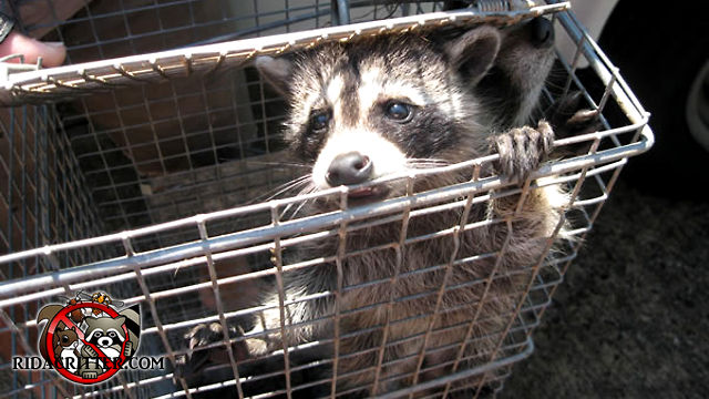 A young raccoon in a cage type trap looking in the direction of the animal removal technician who is not in the picture