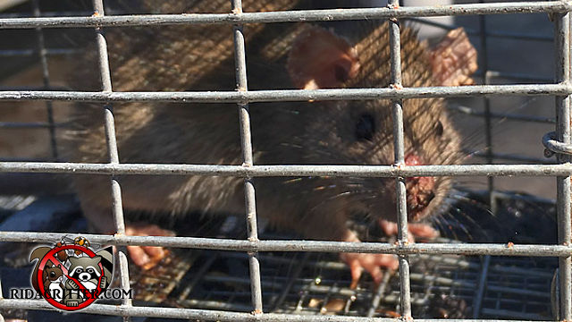 Young rat in a cage trap facing the camera after being trapped and removed from a house