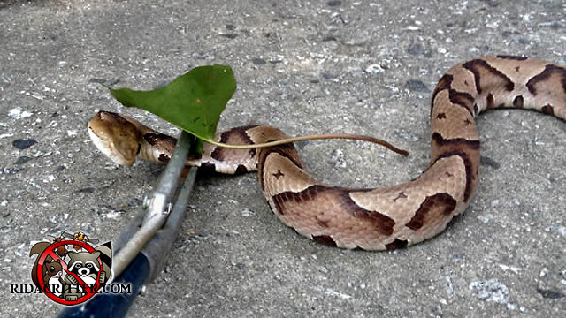 A copperhead snake on the ground being held in a snare after being removed from under the porch of a house.