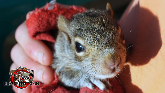 Young squirrel being held by an animal-removal technician in his hands after being removed from the attic of a house